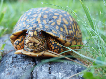 A Eastern Box Tortoise hiding in its shell for protection. Stock fotó - 152811794