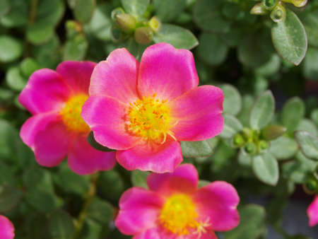 a photo of Purslane flowers taken as a background image
