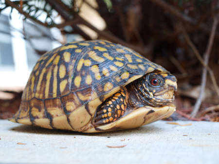 A Eastern Box Tortoise hiding in its shell for protection.