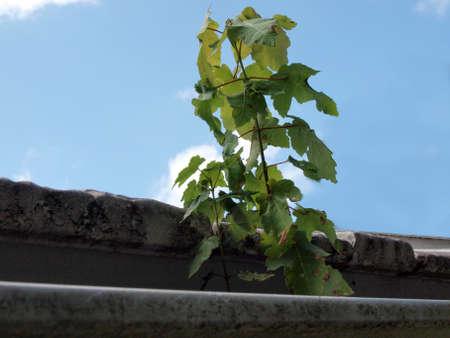 tree sapling growing in a home gutter Stock fotó - 155248137