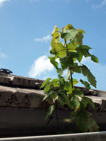 tree sapling growing in a home gutter Stock fotó - 155248289