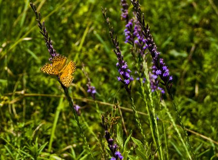poised: A vibrant monarch butterfly in a lush green summer meadow poised on a purple coneflower stem