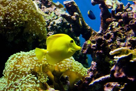 live coral: a yellow fish against a live coral reef in an aquarium