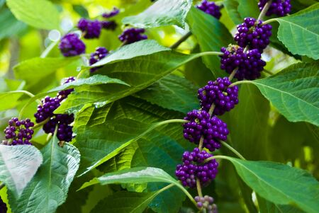 wildberry: a closeup view of a beautyberry bush with small ripe purple berries