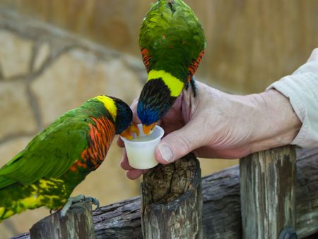fed: two lorikeets eating nectar that is hand fed to them in an exhibit