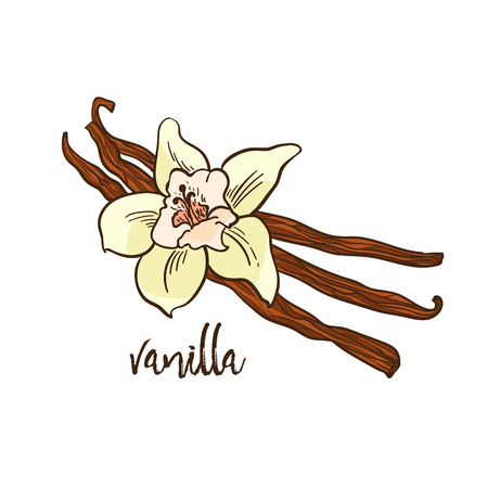 The Vanilla - flower and spicy, hand draw illustration Reklamní fotografie