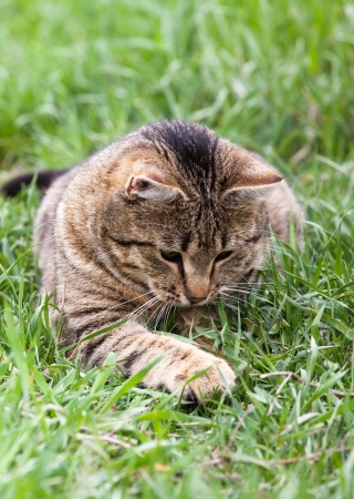 Healthy Cat playing in the green grass photo