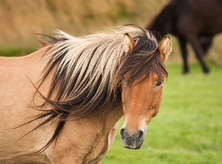 island�s: Islandia caballo