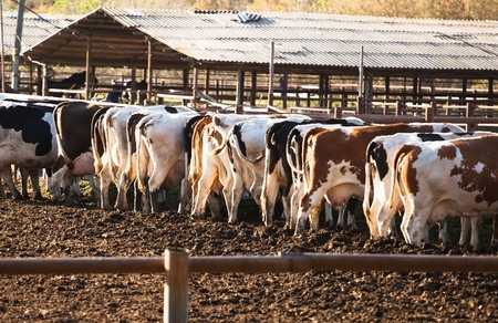 The dairy cows life in a farm  Dairy cows are reared for milk production   photo
