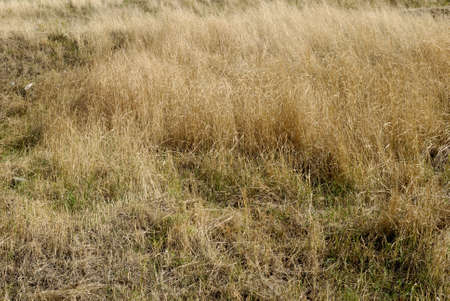 gramma: meadow with yellow withered grass.