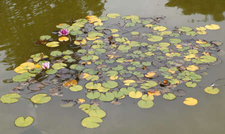 comely: natural pond with beauty lily at the park