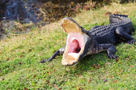 aggressive alligator in everglades park in Florida photo