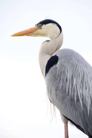 gray herons: close up of grey heron