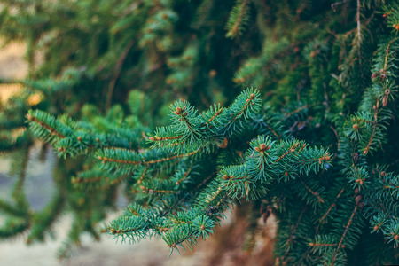 spruce: Spruce branches