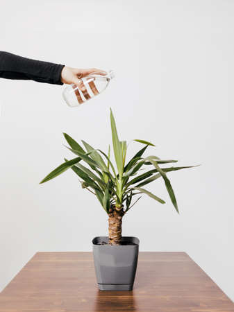 Plant care Conceptual photo in minimal style Girl is watering potted plant with water from glass bottle Archivio Fotografico
