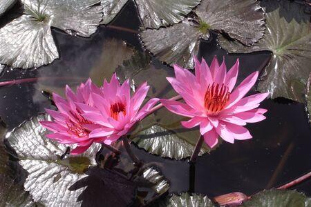 Lotus flowers, three Stock Photo - 12841138