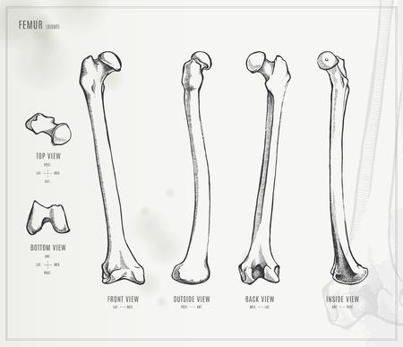 femur: Femur Illustration