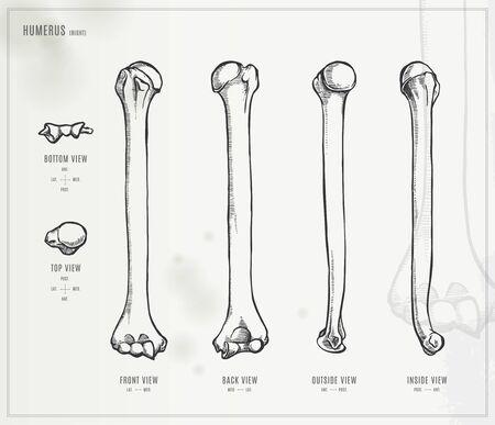 upper arm: Humerus