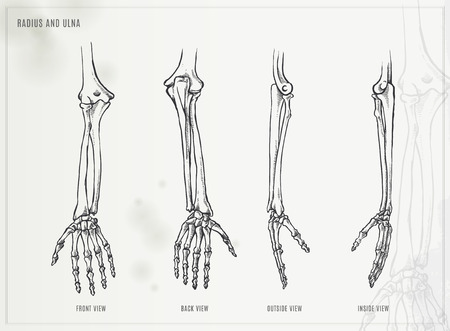 lateral view: Ulna, radius and hand bones Illustration
