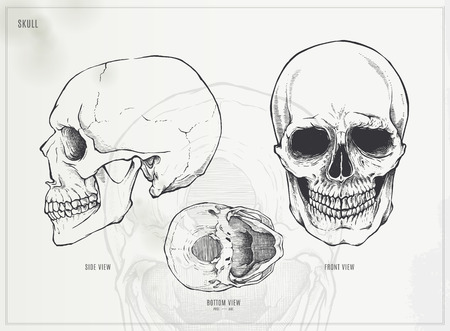 lower: Skull