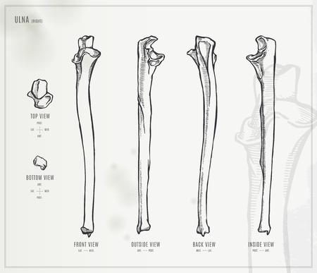 forearm: Ulna
