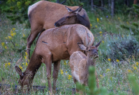 conservation grazing: Elk In Yellowstone National Park Stock Photo
