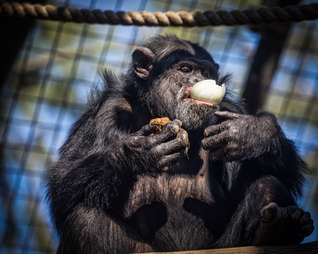 anthropoid: Chimpanzee and Onion Stock Photo