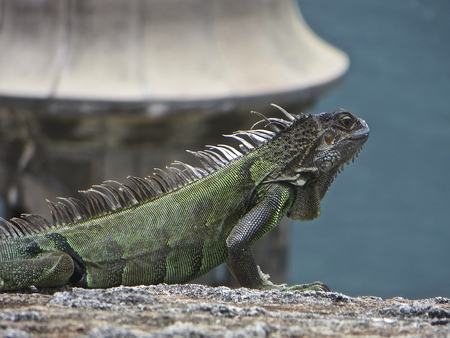 puerto rico: Iguana In Puerto Rico