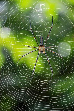 golden orb weaver: Spider and Web, Phuket, Thailand
