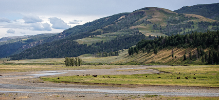 hayden: Bison Herd in Yellowstone National Park, Wyoming.