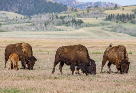 wyoming: American Bison Herd, Wyoming Stock Photo