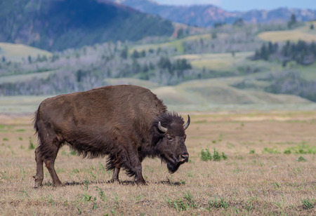 wyoming: American Bison, Wyoming