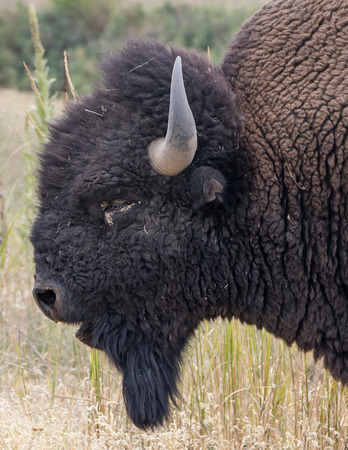 Bison, National Bison Range, Montana.