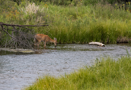 virginianus: Deer in Stream, National Bison Range, Montana
