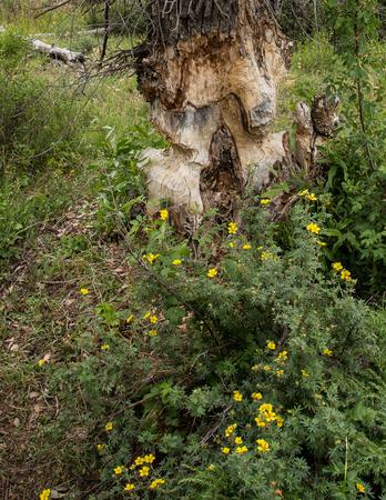 chewed: Tree chewed by beavers, Grand Tetons, Wyoming. Stock Photo
