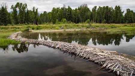 Beaver Dam, Schwabachers Landing, Grand Tetons, Wyoming Archivio Fotografico