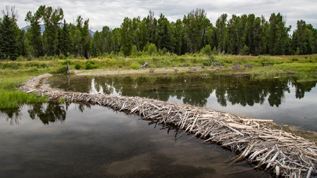 Beaver Dam, Schwabachers Landing, Grand Tetons, Wyoming Stock Photo