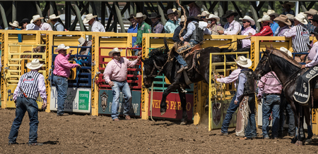 red bluff: Coming out of the Chute, Red Bluff Rodeo, California.