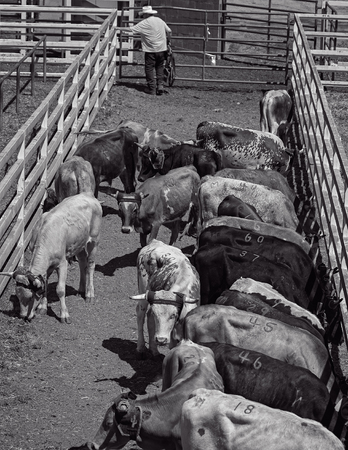 bluff: Bull pen for the rodeo, Red Bluff Round up, California. Editorial