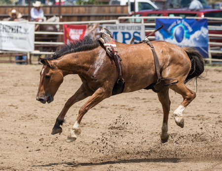 arena rodeo: Bronco horse on the loose in the Cottonwood, California Rodeo.