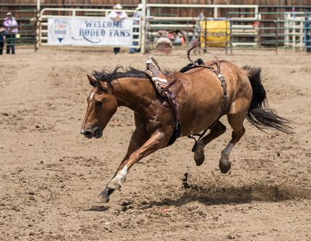 bronco: Bronco horse on the loose in the Cottonwood, California Rodeo.
