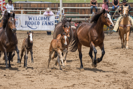 daring: Horses and ponies on display at the Cottonwood Rodeo in Cottonwood, California.