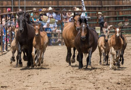 filly: Horses and ponies on display at the Cottonwood Rodeo in Cottonwood, California.