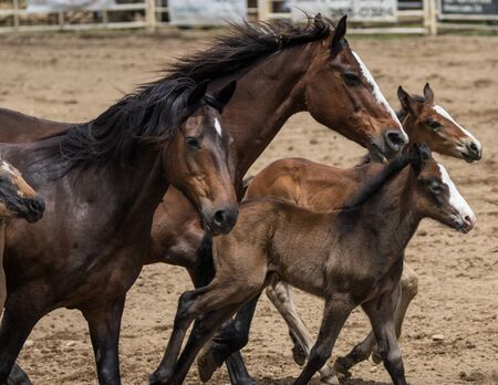 corral: Young horses running around in a corral during a rodeo in Cottonwood, California. Stock Photo