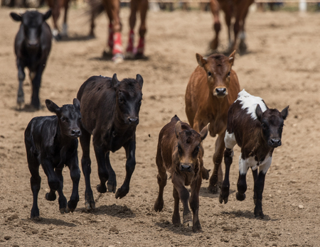 corral: Young calves running around in a corral during a rodeo in Cottonwood, California.