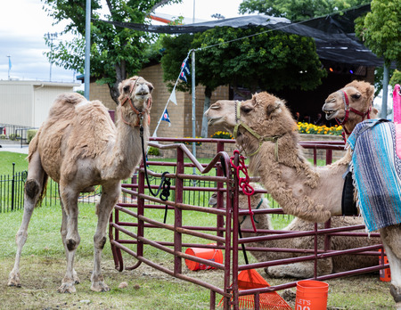 rides: Camel rides at the county fair. Editorial