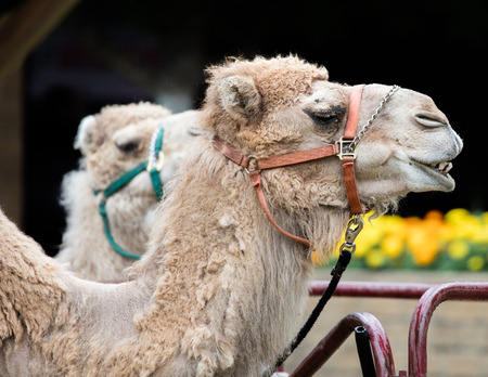 rein: Camels at the County Fair.