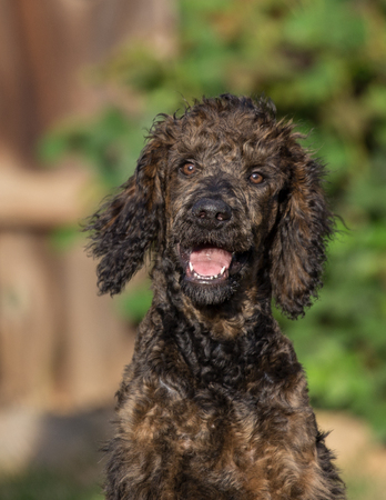 Standard Poodle puppy.