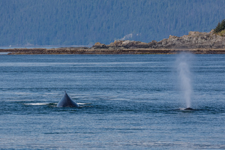 Humpbacks near Admiralty Island, Alaska.