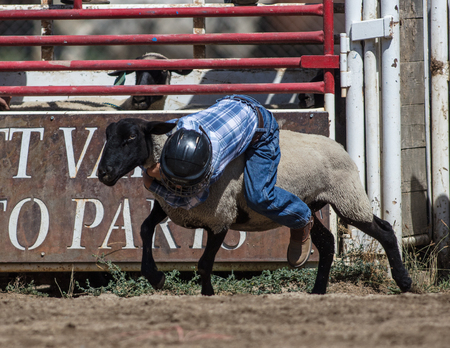busting: Children riding sheep at the mutton busting even at the Scott Valley Pleasure Park Rodeo in Etna, California.